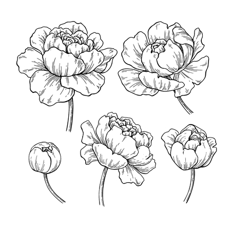 Peony botanical drawing. Vector hand drawn engraved flower set.