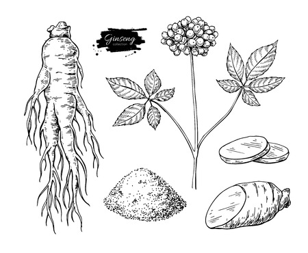Ginseng vector drawing. Medical plant sketch. Engraved botanical