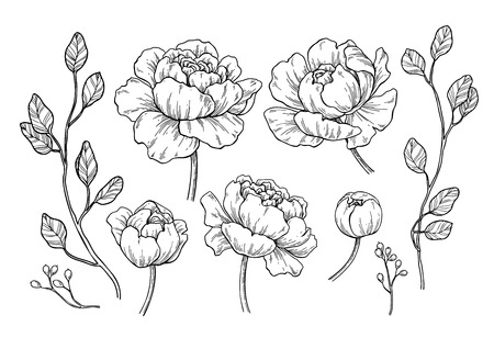 Peony flower and leaves drawing.