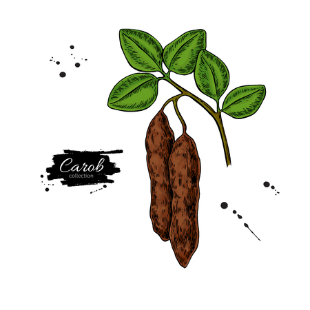 Carob branch vector superfood drawing. Isolated hand drawn 矢量图像