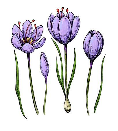 Saffron flower vector drawing. Hand drawn herb and food spice. Natural flavor.