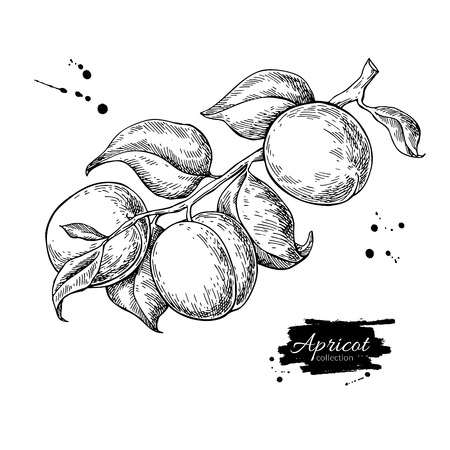 Apricot branch vector drawing. Hand drawn isolated fruit. Summer