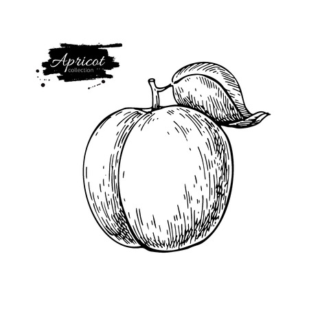 Apricot vector drawing. Hand drawn isolated fruit.  Summer food Vettoriali