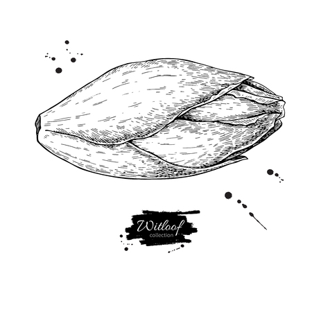 Witloof vector drawing set. Isolated hand drawn  belgian endive.