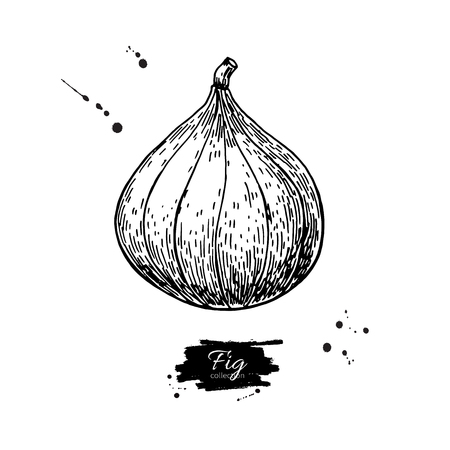Fig vector drawing. Hand drawn isolated fruit.  Summer food