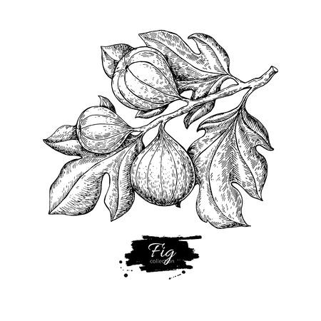 Rysunek wektor gałęzi fig. Ręcznie rysowane pojedyncze owoce. Summer foo