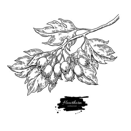 Hawthorn Branch Zeichnung. Vektorbetriebsskizze mit Beeren