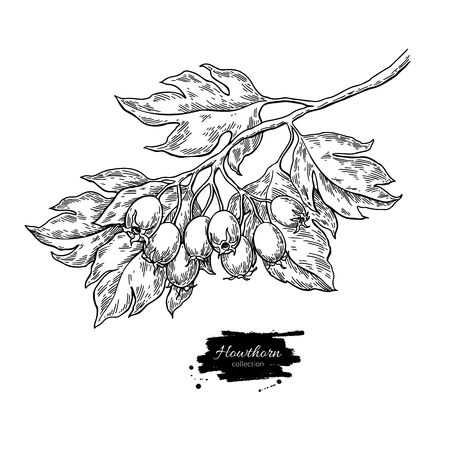 Hawthorn branch drawing. Vector plant sketch with berries