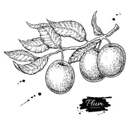 Plum branch vector drawing. Hand drawn isolated fruit. Summer fo