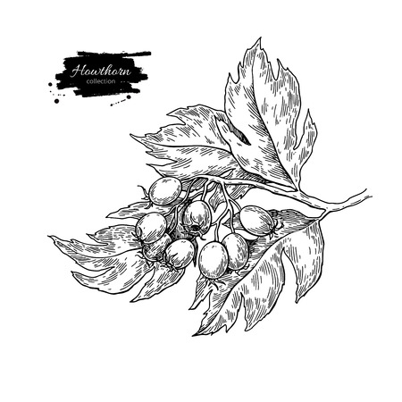 Hawthorn branch drawing. Vector plant sketch with berries.