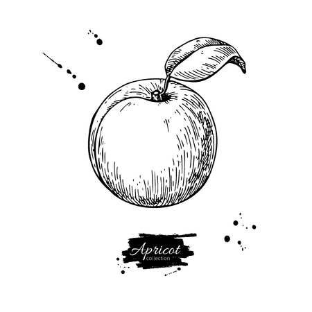 Apricot vector drawing. Hand drawn isolated fruit.  Summer food Ilustrace