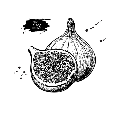 Fig vector drawing. Hand drawn fruit and sliced piece. Summer fo Vectores