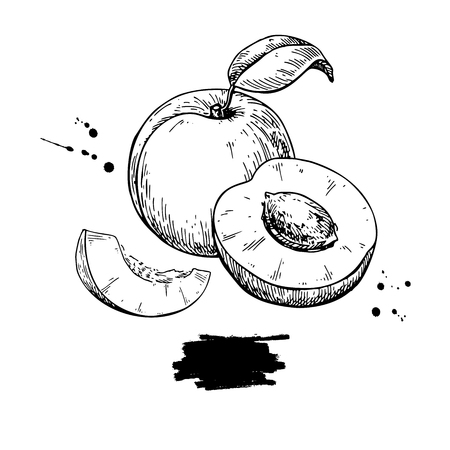 Apricot vector drawing. Hand drawn fruit and sliced pieces.  Sum Ilustração