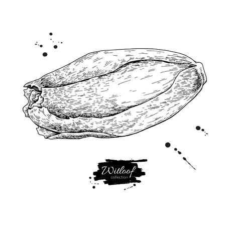 Witloof vector drawing set. Isolated hand drawn belgian endive. Ilustração