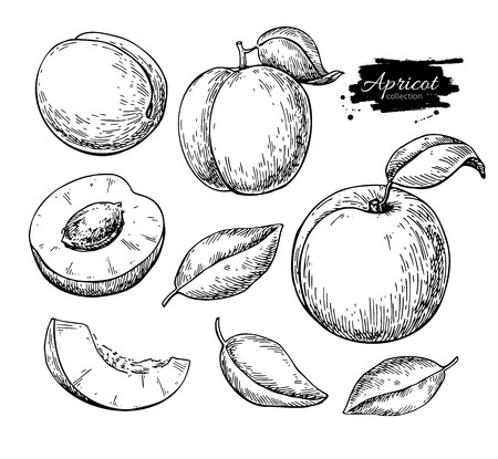 Hand drawn of apricot fruit and sliced pieces on silhouette black with white backdrop illustration.