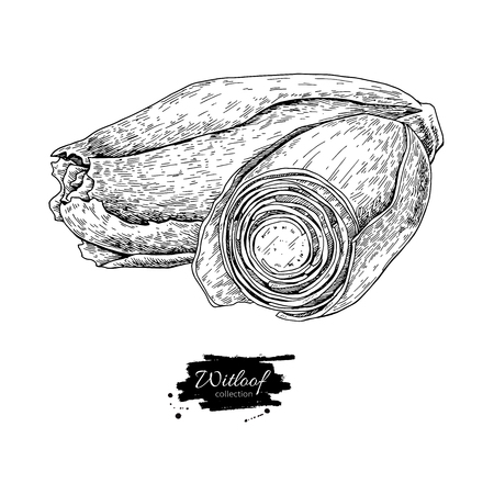 Witloof vector drawing set isolated hand drawn sliced belgian. Illustration