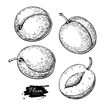 Plum vector drawing set in hand drawn fruit and sliced pieces. Reklamní fotografie - 98866902