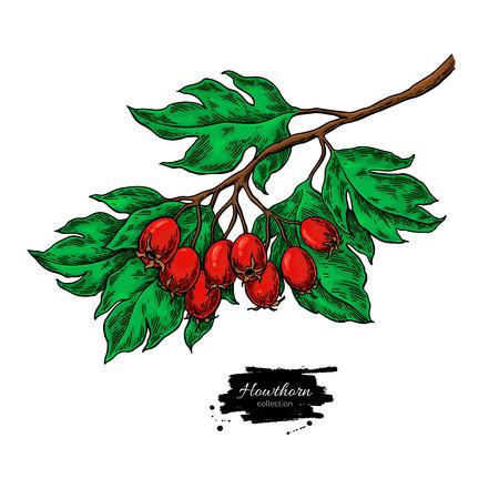 Hawthorn branch tekening in de hand getekende illustratie met rode bessen geïsoleerd op een witte achtergrond.