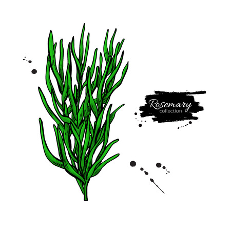 Rosemary bunch vector drawing. Isolated  plant with leaves.