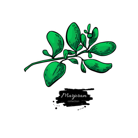 Marjoram vector hand drawn illustration. Isolated spice object. Vettoriali
