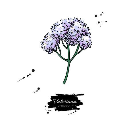 バレリアナ・オフフィシナリスベクター描画。孤立した医療の花。H