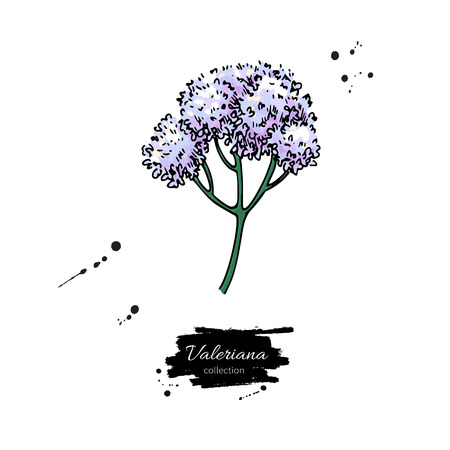 Valeriana officinalis vector drawing. Isolated medical flower. H Stock fotó - 98864037