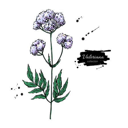 Valeriana officinalis vector drawing. Isolated medical flower an Ilustrace
