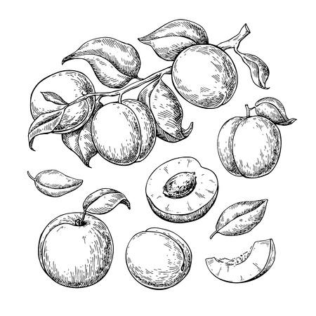 Apricot vector drawing set