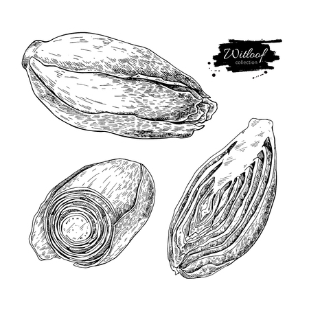 Witloof vector drawing set. Isolated hand drawn  sliced belgian
