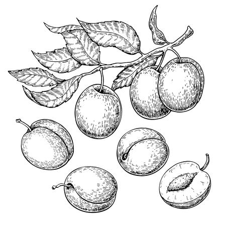 Plum vector drawing set