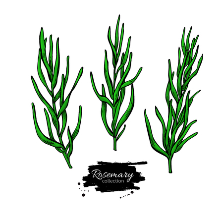 Rosemary vector drawing set. Isolated plant with leaves.