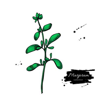 Marjoram vector hand drawn illustration Stock Illustratie