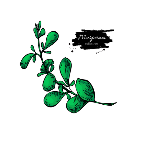 Marjoram vector hand drawn illustration. Isolated spice object. Stock Illustratie