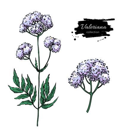 Valeriana officinalis vector drawing. Isolated medical flower an Illustration