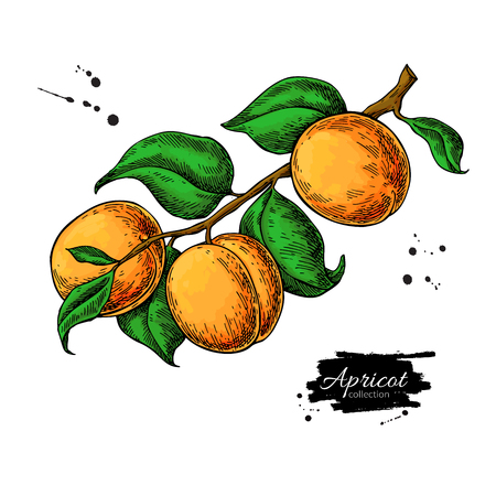 Apricot branch vector drawing. Hand drawn isolated fruit. Summer food illustration Vettoriali