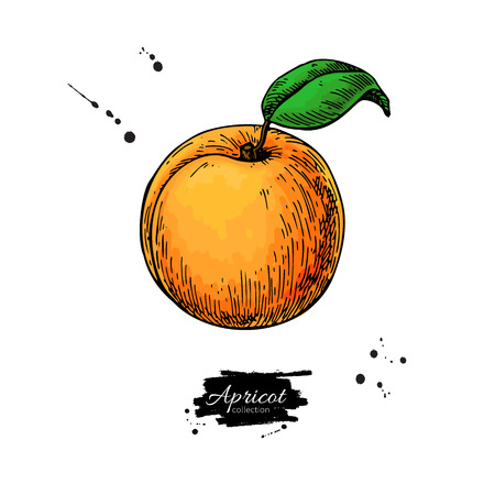 Apricot vector drawing. Hand drawn isolated fruit.