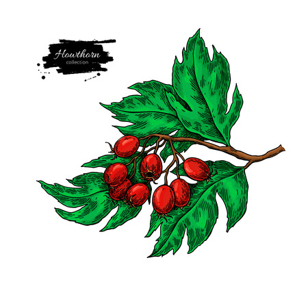 Hawthorn branch drawing. Vector hand drawn plant with red berries isolated