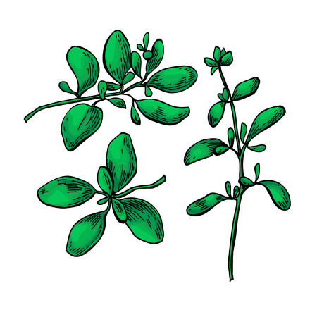 Marjoram vector hand drawn illustration set. Isolated spice object