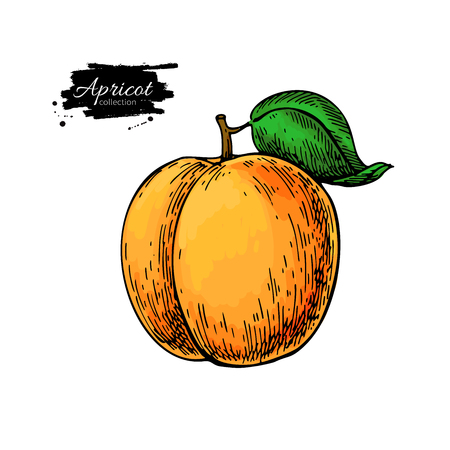 Apricot vector drawing. Hand drawn isolated fruit. Summer food illustration. Detailed vegetarian sketch.