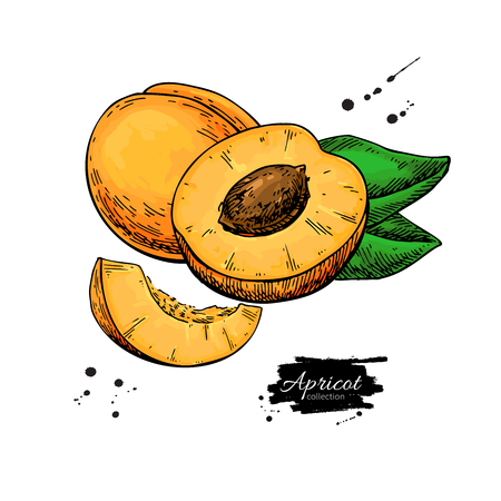 Apricot vector drawing. Hand drawn fruit and sliced pieces. Summer food illustration. Detailed vegetarian sketch.