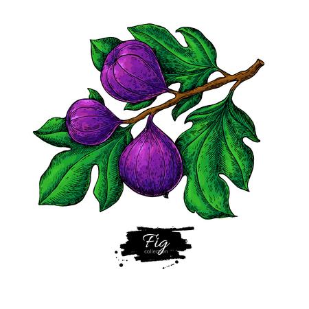 Fig branch vector drawing Hand drawn isolated fruit. Summer food illustration. Detailed vintage botanical sketch. Great for label, poster, print, menu