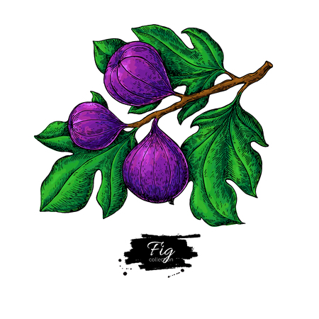 Fig branch vector drawing Hand drawn isolated fruit. Summer food illustration. Detailed vintage botanical sketch. Great for label, poster, print, menu Reklamní fotografie - 99174512