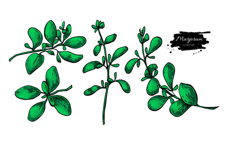 Marjoram vector hand drawn illustration set. Isolated spice object. Detailed organic seasoning sketch. Cooking flavor ingredient. Great for label, sign, icon Vettoriali
