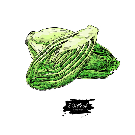 Witloof vector drawing set. Isolated hand drawn  sliced belgian endive piece. Vegetable illustration. Detailed vegetarian food sketch. Farm market product. Stockfoto - 99222055