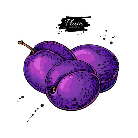 Plum vector drawing. Hand drawn isolated fruit. Summer food illu Imagens