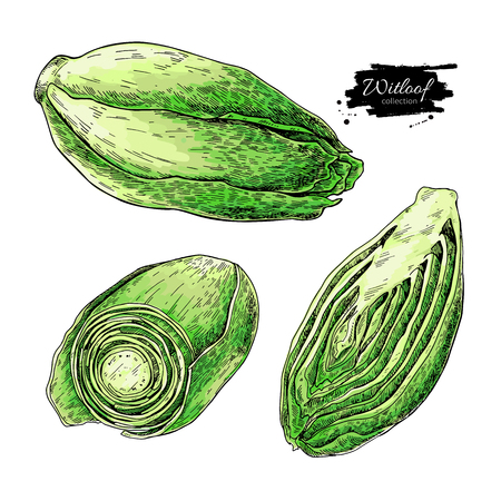 Witloof vector drawing set. Isolated hand drawn  sliced belgian endive piece. Vegetable illustration. Detailed vegetarian food sketch. Farm market product. Illustration