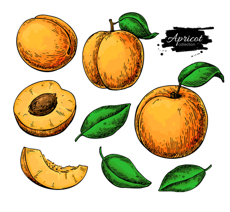 Apricot vector drawing set. Hand drawn fruit and sliced pieces. Summer food illustration.