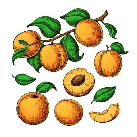 Aprikosenvektor-Zeichnungssatz. Hand gezeichnete Frucht, Niederlassung und geschnittene Stücke. Sommer essen Abbildung. Ausführliche vegetarische Skizze. Ideal für Etiketten, Poster, Druck, Menü, Verpackungsdesign