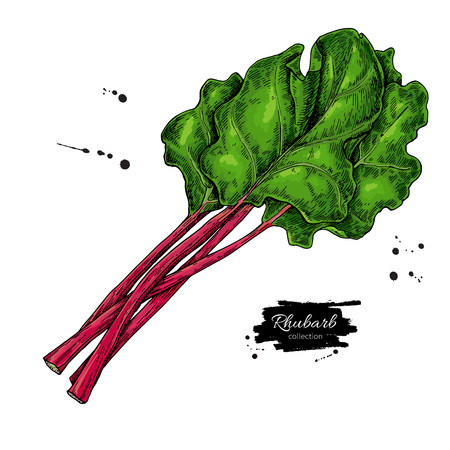 Rhubarb vector drawing set. Isolated hand drawn  sliced piece an