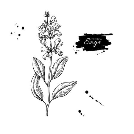 Sage vector drawing. Isolated plant with flower and leaves. Herbal engraved style illustration. Detailed organic product sketch. Cooking spicy ingredient  イラスト・ベクター素材
